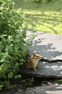 Photo 1 of eastern chipmunk