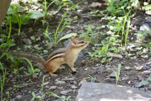 Photo 2 of eastern chipmunk