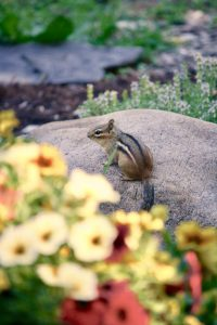 Photo 3 of eastern chipmunk