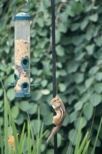 Photo 4 of eastern chipmunk
