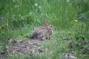 Photo of eastern cottontail rabbit