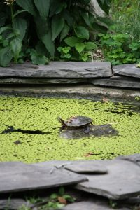 Photo 1 of eastern painted turtle