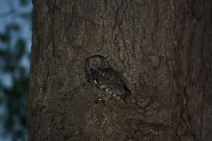 Photo 1 of eastern screech owl