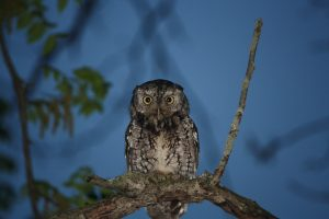 Photo 2 of eastern screech owl