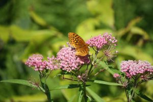 Photo of great spangled fritillary