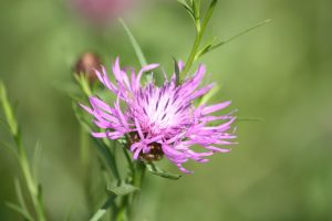 Photo 1 of greater knapweed