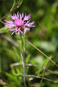 Photo 2 of greater knapweed
