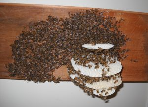 Photo ogf honey bee swarm