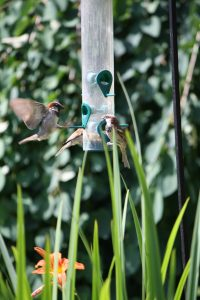 Photo of house sparrows