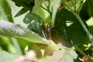 Photo of nursery web spider