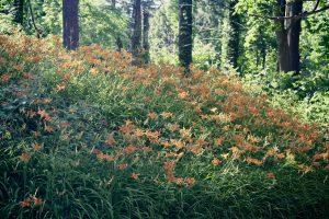 Photo 2 of orange day lily