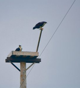 Photo of osprey nest
