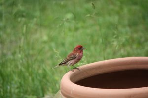 Photo of purple finch