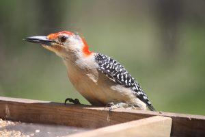Photo of red bellied woodpecker