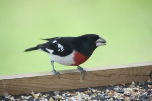 Photo 3 of Rose Breasted Grosbeak