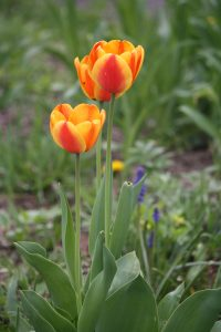 Photo 2 of tulips