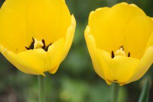 Photo 3 of tulips