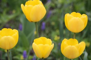 Photo 4 of tulips