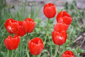 Photo 5 of tulips