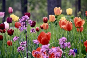 Photo 6 of tulips