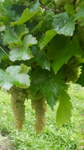 Photo of white grapes