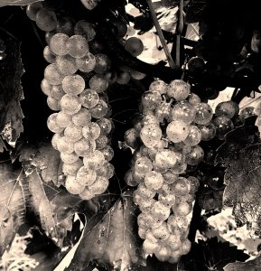 Black and white photo of White grapes