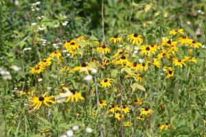 Photo of Yellow Coneflower